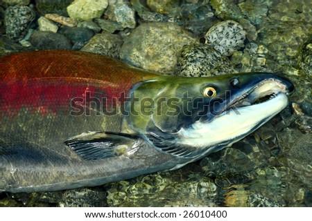 Stranded male Sockeye salmon in the upper Pitt River - stock photo