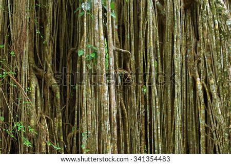 Strangler Fig, Curtain Fig near Yungaburra, Atherton Tablelands, Queensland, Australia - stock photo