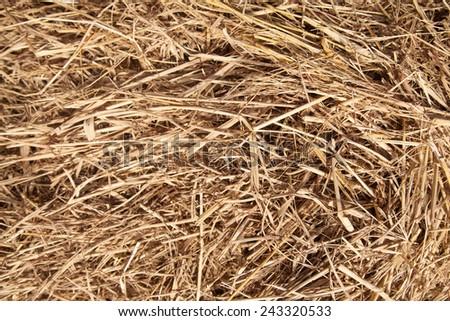 Straw dry deposition is a lot after the harvest of agricultural crops from the field. - stock photo