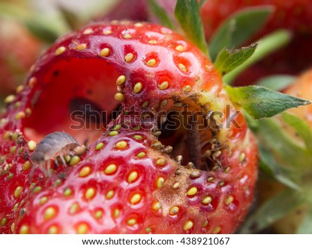 Strawberries destroyed by garden pests  - stock photo