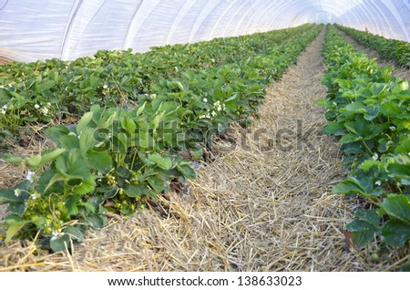 Strawberries growing in Poly-tunnel greenhouse tunnels - stock photo