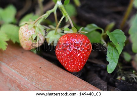 Strawberries ripening in a wooden planter - stock photo