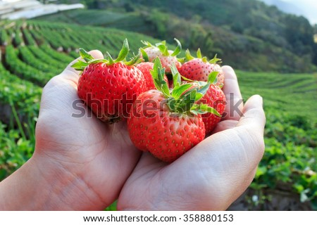 Strawberry berries fresh from the farm in the hands strawberry berries. - stock photo