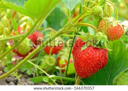 Strawberry bush growing in the garden - stock photo