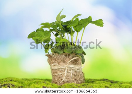 Strawberry bush in pot on grass on bright background - stock photo