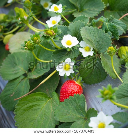 Strawberry bush with red berries and green leaves - stock photo