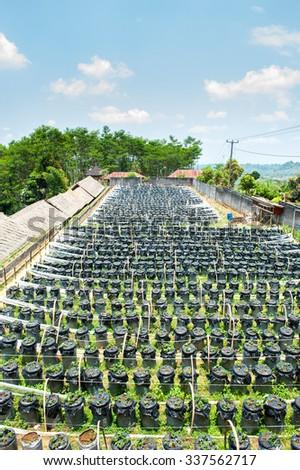 Strawberry farm in Bali. - stock photo