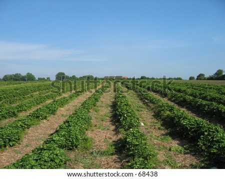 Strawberry farm in Norway - stock photo