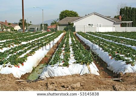 Strawberry farm with ripening berries in California . - stock photo
