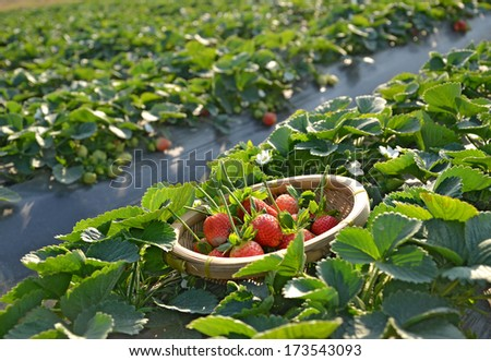 Strawberry field and freshly picked strawberries in the basket - stock photo