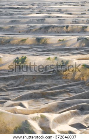 Strawberry field covered with white agriculture fleece in sunshine; Frost protection and support for early harvest - stock photo