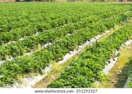strawberry field ,north of thailand - stock photo