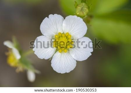 Strawberry flower isolated  - stock photo