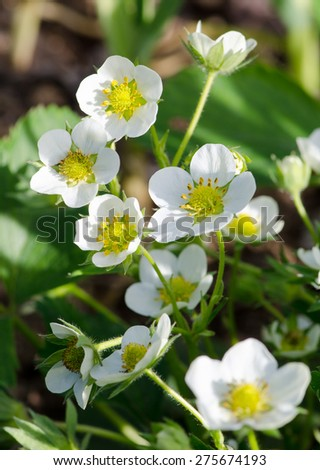 Strawberry flowers in the garden, macro - stock photo