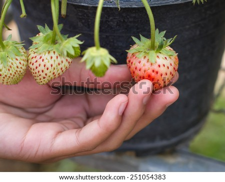Strawberry fruits in a woman's hands - stock photo
