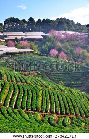 Strawberry garden and cherry blossom or sakura flowers at doi angkhang mountain, chiangmai : thailand  - stock photo