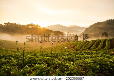 Strawberry garden at Doi Ang Khang , Chiang Mai, Thailand - stock photo
