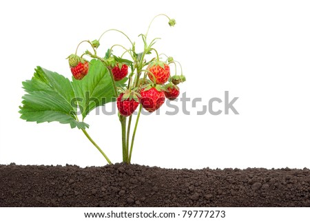 Strawberry growing out of the soil - stock photo