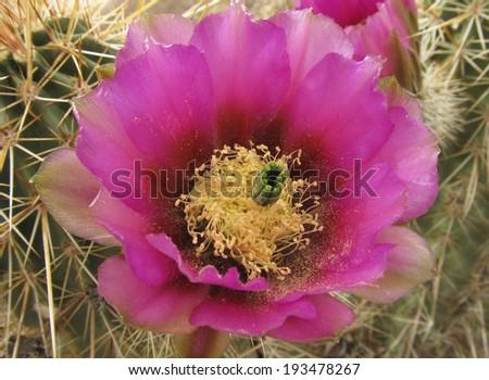 Strawberry Hedgehog Cactus (Echinocereus engelmannii) with vibrant pink flower                                - stock photo