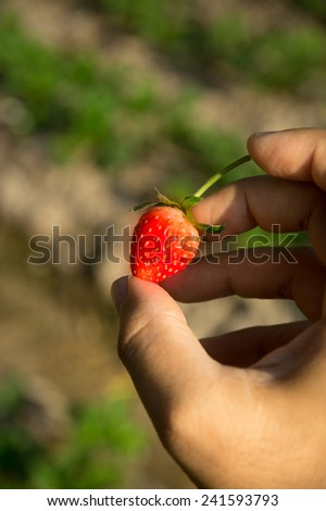 Strawberry in hand with farm background.  - stock photo