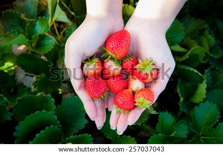 Strawberry on woman hand at strawberry field - stock photo