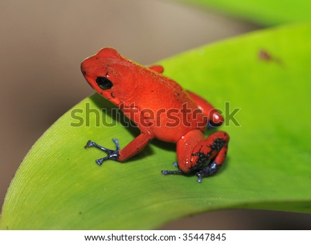 strawberry or blue jeans dart frog on green leaf ,selva verde, sarapiqui, costa rica - stock photo