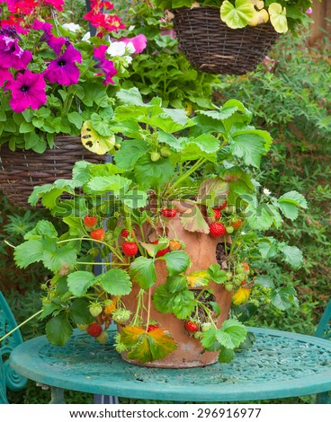 Strawberry plant in a terracotta pot on a garden table. - stock photo