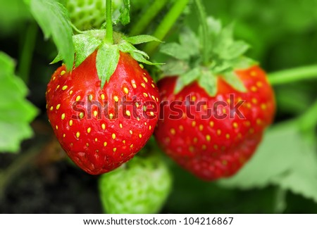 Strawberry plant, outdoor shot - stock photo