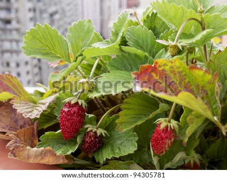 Strawberry plant with city background (urban gardening) - stock photo