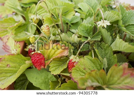 Strawberry plant with fruits ripening - stock photo