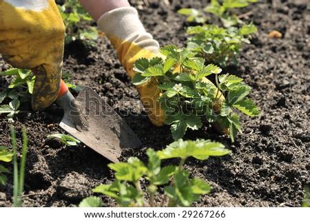 Strawberry  Planting - stock photo