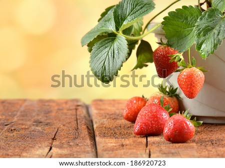 Strawberry plants growing in a pot. - stock photo