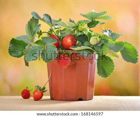 strawberry plants in a flower pot  - stock photo