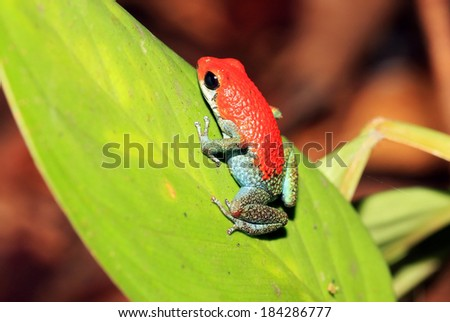 Strawberry Poison-dart Frog (aka Blue Jeans Poison-dart Frog - Dendrobates Pumilio), On a Leaf, Drake Bay, Osa Peninsula, Costa Rica - stock photo