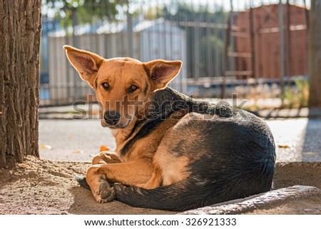 Stray dog having rest in the street, backlit. Shelter dog is waiting for you. Adopt a pet concept. Rabies danger. Stray dog look back at you and waiting for your action. - stock photo