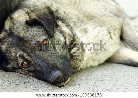 Stray dog with sad eyes, looking at the camera - stock photo