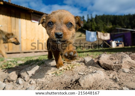 stray puppy in Mexico stepping towards the camera - stock photo