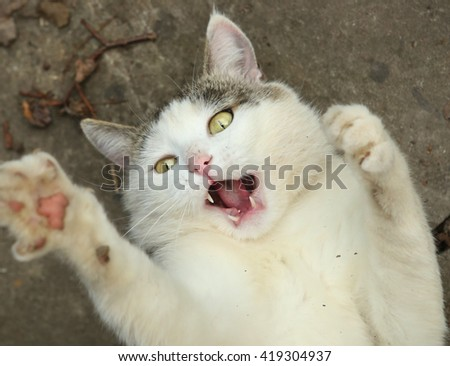 stray siberian cat play close up portrait with open mouth and claws - stock photo