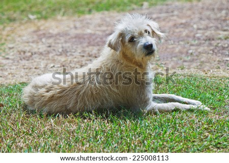 Stray thai white dog on grass - stock photo
