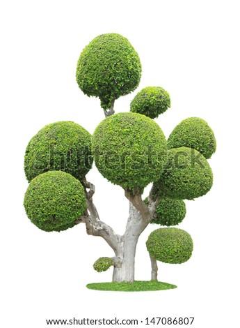 Streblus asper tree isolated on white background  - stock photo