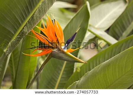 strelitzia blooming in the greenhouse - stock photo