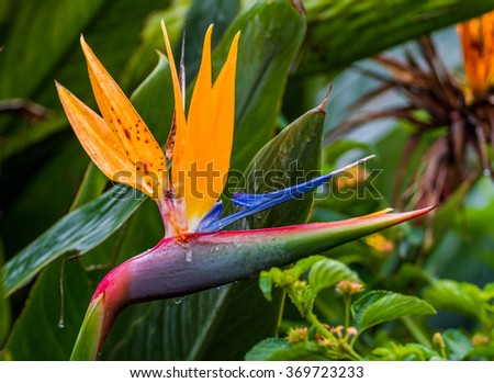 Strelitzia or Bird of Paradise flower in Utopia Orchid Park, Israel - stock photo