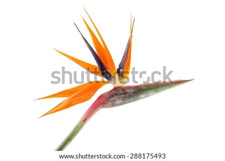 Strelitzia reginae (Bird of Paradise) on white background  - stock photo