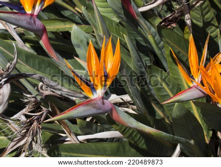 Strelitzia reginae Strelitzia, Crane Flower or Bird of Paradise,  a monocotyledonous flowering plant indigenous to South Africa in glorious bloom in spring is a decorative and ornamental delight. - stock photo