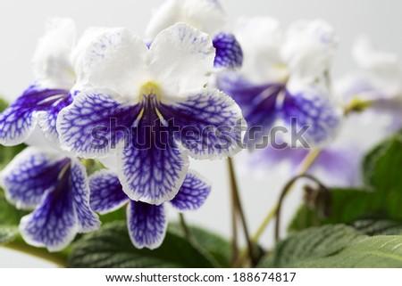 Streptocarpus (Purple panda) - stock photo