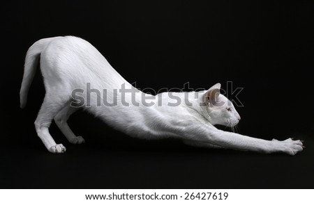 Stretching Foreign White cat - stock photo