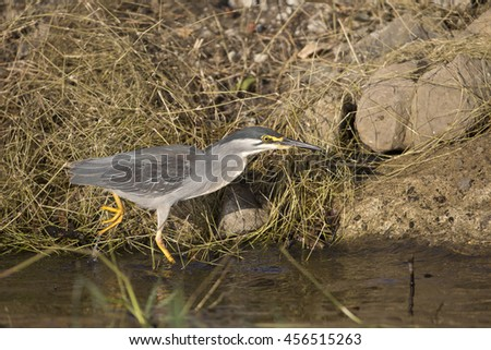 Striated Heron on the bank of the Chobe Riber - stock photo