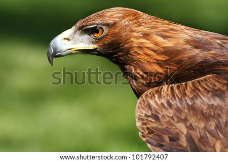strict golden eagle - stock photo