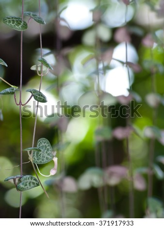 String of hearts with flower may use for valentine's day or love theme. Ceropegia woodii Family Asclepiadaceae Common names include chain of Hearts, collar of hearts, rosary vine, sweetheart vine. - stock photo