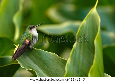 Stripe-tailed Hummingbird sitting on the green flower, Savegre, Costa Rica - stock photo
